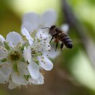 Plum Blossom Bee by yolanda