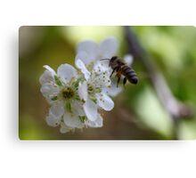 Plum Blossom Bee Canvas Print