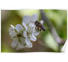Plum Blossom Bee Poster