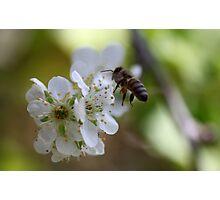 Plum Blossom Bee Photographic Print