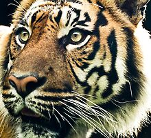 Eye of the Tiger by jegi52001
