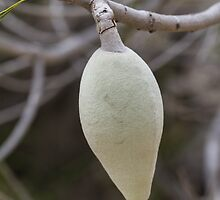 Woody Pear (Xylomelum pyriforme) by Elaine Teague