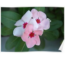 Blooming Beautiful Pink Impatiens Flowers Poster