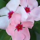 Blooming Beautiful Pink Impatiens Flowers by taiche