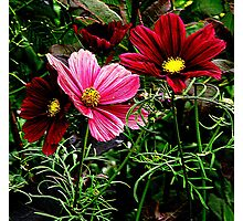 Cosmos in full Bloom Photographic Print