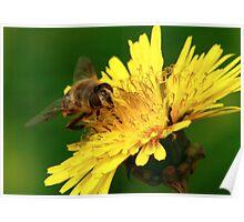 Bee gathering pollen. Poster
