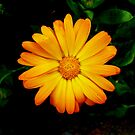 Summer Flower by 0lillypilly0