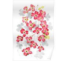 Flowers of the Pink dogwood (Cornus florida) Poster