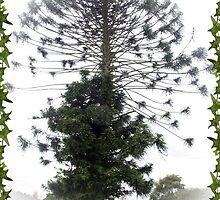 Bunya Nut  Pine Tree - Drouin, Gippsland by Bev Pascoe