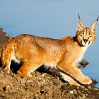 Caracal by Elsa Dyason