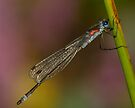 Scarce Blue-tailed Damselfly by Neil Bygrave (NATURELENS)