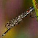 Emerald Damselfly by Neil Bygrave (NATURELENS)