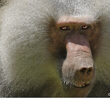 Baboon...not a guy you invite  on your Birth Day party... by John44