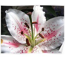 Glorious Oriental Lily Flower Poster