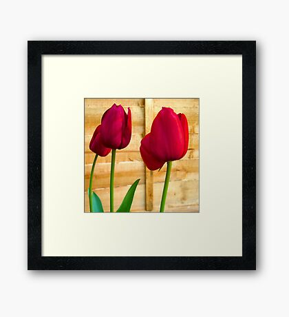 Red Tulips ..  Framed Print