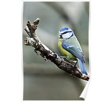 Bluetit, The Rower, County Kilkenny, Ireland Poster
