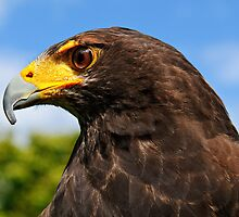 Harris Hawk, South East Bird of Prey Centre, County Wexford, Ireland by Andrew Jones