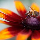 Bee by Mandy Disher