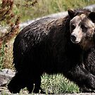 Yellowstone 2011 - Bear by Dennis Stewart