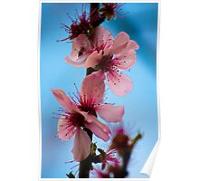 Close up of pale pink  flowers. Poster