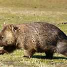 Wombat by Elisabeth  Cannell