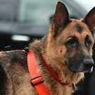 Captain, An awesome search and rescue dog by kremphoto