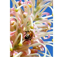 Bee on Grevillea Photographic Print