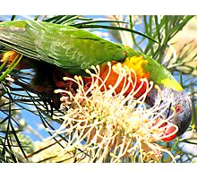 Rainbow Lorikeet in the Grevillea Photographic Print