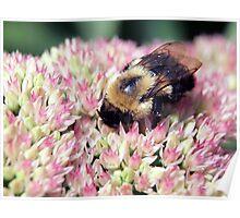 bee on the sedum Poster