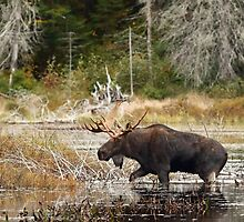Bull moose - Algonquin Park by Jim Cumming