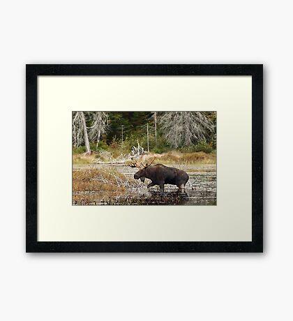 Bull moose - Algonquin Park Framed Print
