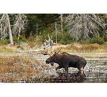 Bull moose - Algonquin Park Photographic Print