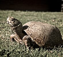 Desert Box Turtle by Kyle Sandell