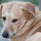 Yellow Labrador by DebbieCHayes