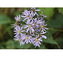 Smooth Aster Photographic Print
