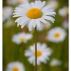 daisy flower by jtran