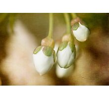 Cherry Blossom Buds Photographic Print