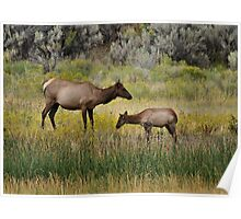 Yellowstone 2011 - Elk and Calf Poster