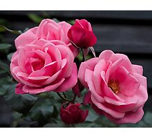 Awesome Pink Roses Photographic Print