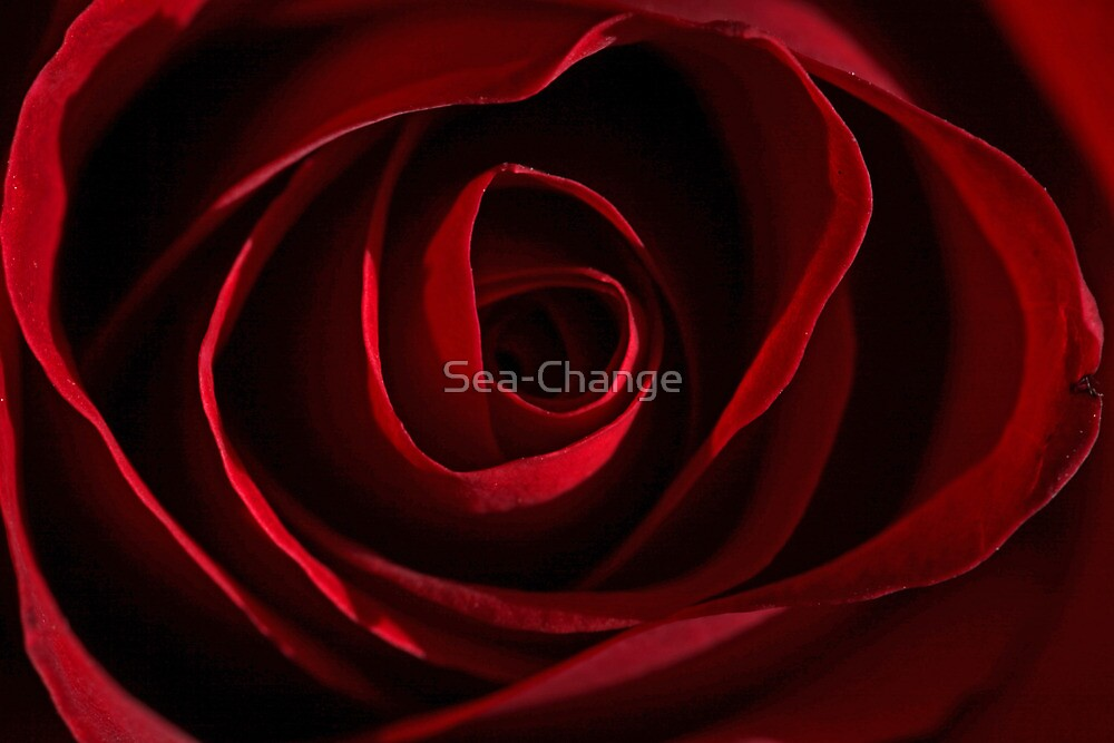 Reddest of Roses by Sea-Change