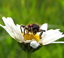 Bug on a daisy by Irina777