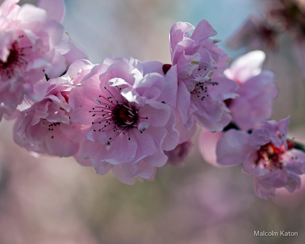 Cherry Blossom by Malcolm Katon