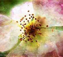 Apple blossom time by © Pauline Wherrell