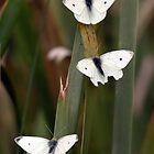 Three White Butterflies by yolanda