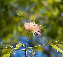 Pink Mimosa by Antonio Paliotta
