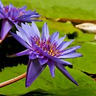Water Lily by Vac1