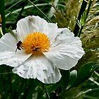 Poppy in White by LydiaBlonde