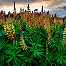 Show Your Beauty ~ Wild Lupine ~ by Charles & Patricia   Harkins ~ Picture Oregon