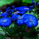 """""""Burst Of Blue"""" by Heather Thorning"""