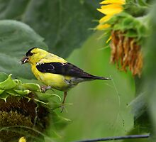 Greedy Goldfinch by Renee Blake